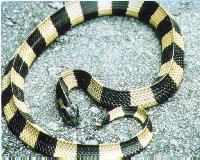 Da Nang, Krait Snake