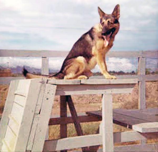 7. Da Nang AB, 366th SPS, K-9: Shep going through the obstacles in the Growl Pad Training and Exercise yard. Photo by: Lee Miller, Nov 1966.