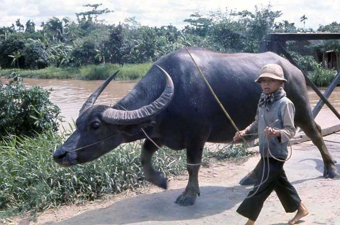 Nui Dat, water buffalo led by small boy. MSgt Summerfield, 1969: 14