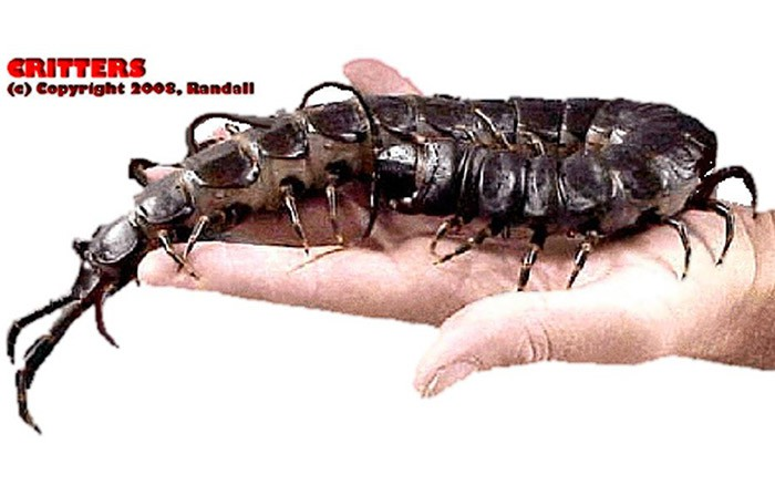 week-2008-11-13-crb-randall-scolopendra-subspinipes-1-don-poss-sm